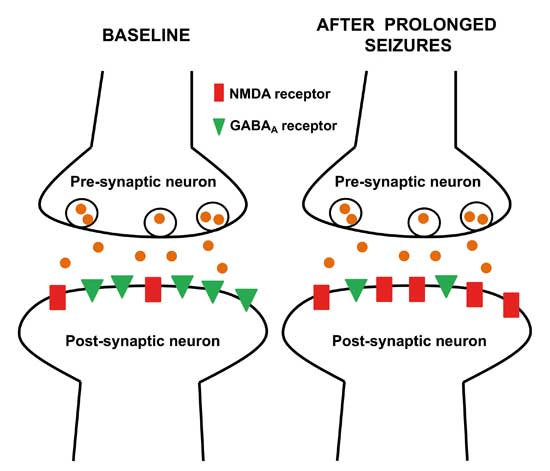 Time matters in Status Epilepticus Changes in neurotransmitter receptor concentrations at baseline and during prolonged seizures.